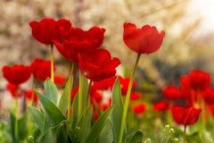 Free Orange Tulip On Color Blurred Background Stock Image - 39531651