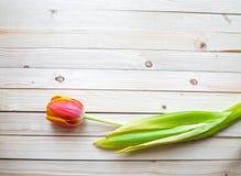 Orange  tulip Royalty Free Stock Photos