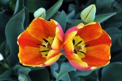 Orange tulip Royalty Free Stock Image