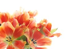 Orange tulip petals Stock Photography
