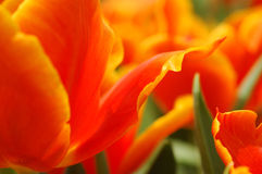 Orange tulip petals Royalty Free Stock Image