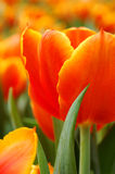 Orange tulip petals Stock Images
