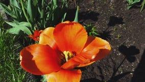 Orange tulip petals. Fluttering in the wind, slow motion stock video