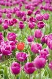 Orange tulip in purple field. Single orange tulip within a large purple tulip field stock image