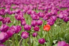 Orange tulip in purple field. Single orange tulip within a large purple tulip field royalty free stock photo