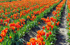 Orange Tulip Rows Stock Photo