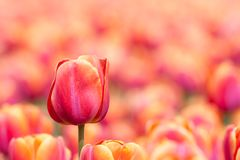 Orange tulip with selective focus Stock Photography