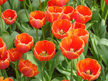 Orange Tulip Royalty Free Stock Photography