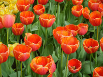 Orange Tulip Stock Image