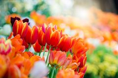 Orange Tulip in spring with soft focus royalty free stock images