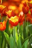 Orange tulip in sunlight Stock Photos