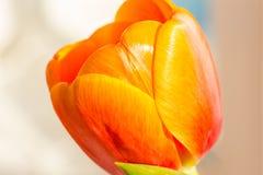 Orange tulip on white background Stock Image