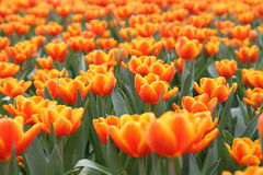 Orange Tulipa Gesneriana in Garden. Natural pretty orange Tulipa gesneriana in Garden with green leaf. This beautiful famous flower is easy to grow. It gives Royalty Free Stock Photography