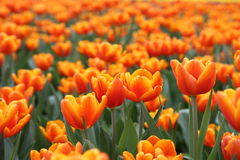 Orange Tulipa Gesneriana in Garden. Natural pretty orange Tulipa gesneriana in Garden with green leaf. This beautiful famous flower is easy to grow. It gives Stock Images