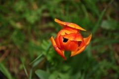 Orange tulipan i en trädgård Royaltyfria Foton