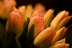 Orange tulips. Bouquet of orange tulips in close up Stock Photography