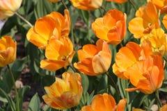 Orange tulips. Close up of the orange tulips Stock Photo