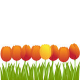 Orange tulips. Bright orange tulips isolated on white background. Vector illustration Stock Photo