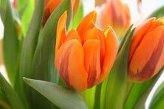 Orange tulips Stock Image
