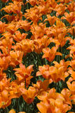 Orange Tulips. A photo of a field of orange tulips Royalty Free Stock Photography