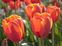Orange tulips Royalty Free Stock Photos