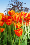 Orange tulips. Royalty Free Stock Images