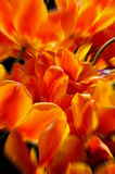 Orange tulips Stock Photos