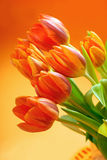 Orange tulips Stock Photography