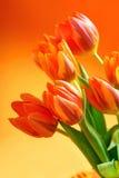 Orange tulips stock images