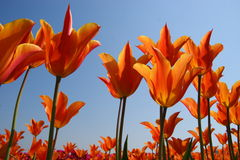 Orange Tulips. In the Netherlands Stock Photo