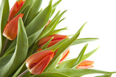 Orange tulips Stock Photo