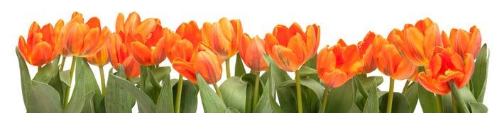 Orange Tulips. Fresh Orange Tulips Isolated on White Background Royalty Free Stock Image