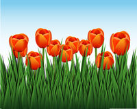 Orange tulips. Illustration of a bouquet of orange tulips Royalty Free Stock Images