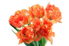 Orange tulips Stock Image