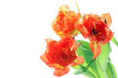 Orange tulips Royalty Free Stock Images