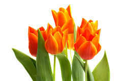 Orange tulips. Isolated on white background Royalty Free Stock Photos