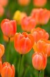 Orange Tulips. Field full of orange tulips Stock Photos