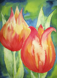 Orange Tulips. Photo of a watercolour painting, created by the photographer herself Royalty Free Stock Photography