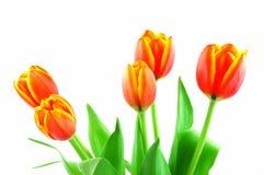 Orange tulips Royalty Free Stock Images