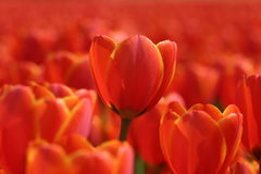 Orange tulips. Orange tulip field, one orange tulip isolated royalty free stock photography
