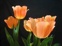 Orange tulips against a black background. Orange tulips blooming against a black background in late winter, Washington State, USA stock image