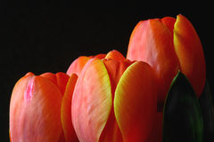 Orange tulips against black background Royalty Free Stock Images