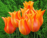 Orange Tulips. In bloom in spring Royalty Free Stock Photo