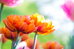 Orange tulips blooming royalty free stock image