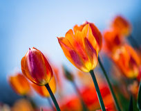Orange tulips blooming in spring Royalty Free Stock Photography