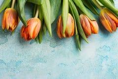 Orange tulips on blue concrete weathered background Royalty Free Stock Image
