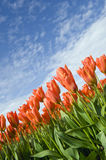 Orange tulips and blue sky Stock Photos