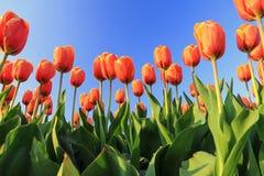 Orange tulips blue sky royalty free stock image