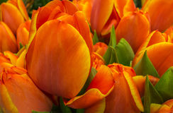Orange  tulips with a blurred background of flowers Royalty Free Stock Photography