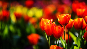 orange tulips with bokeh Stock Images